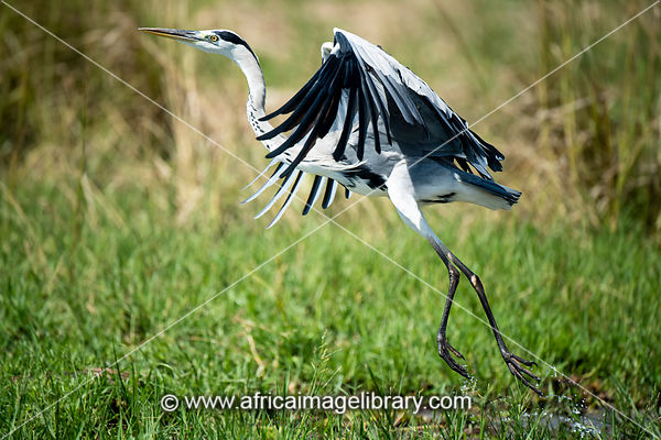 Grey heron in flight, Ardea cinerea, Murchison Falls National Park, Uganda