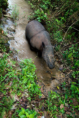 Looking down on Sumatran rhino (Dicerorhinus sumatrensis) walking through stream. Captive-Sumatran Rhino Sanctuary, within Wa...