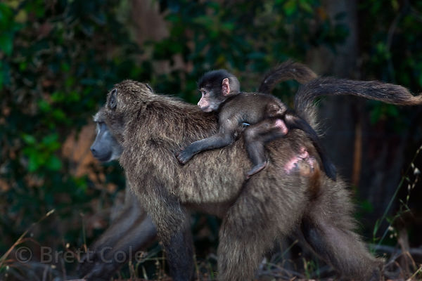 Two chacma baboon mothers from the Plateau Road troop carry their babies on their backs, Cape Peninsula, South Africa