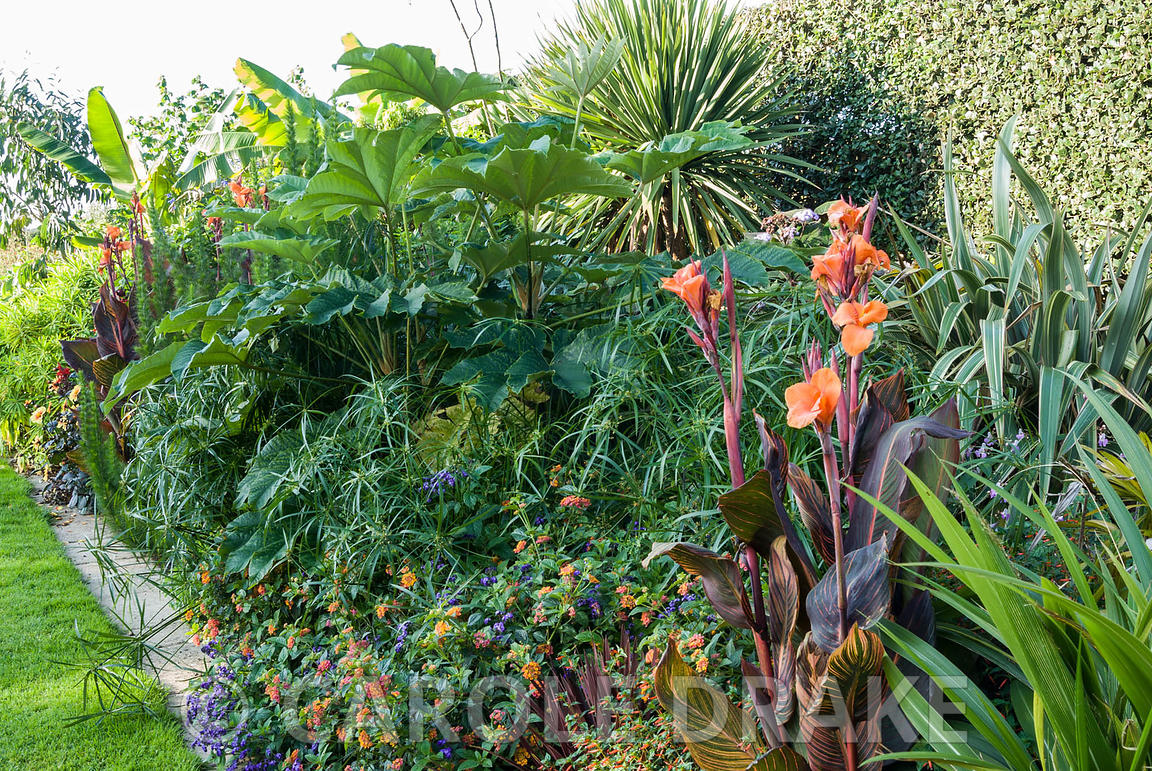 Tropical border including tetrapanax, cannas, lantana, Cyperus alternifolius. Bourton House, Bourton-on-the-Hill, Moreton-in-...