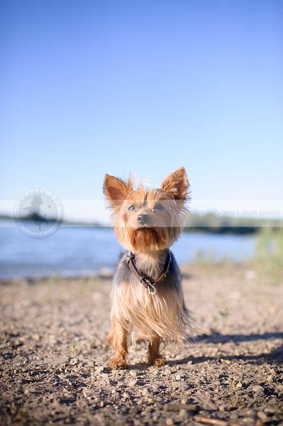 windblown small dog standing on lake shore beach with sky