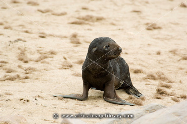 Cape fur seal pup. The Cape fur seal (Arcocephalus pusillus pusillus) is endemic to Southern Africa. Cape Cross, Skeleton Coa...