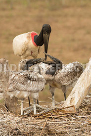 jabiru_stork_nest_close-15
