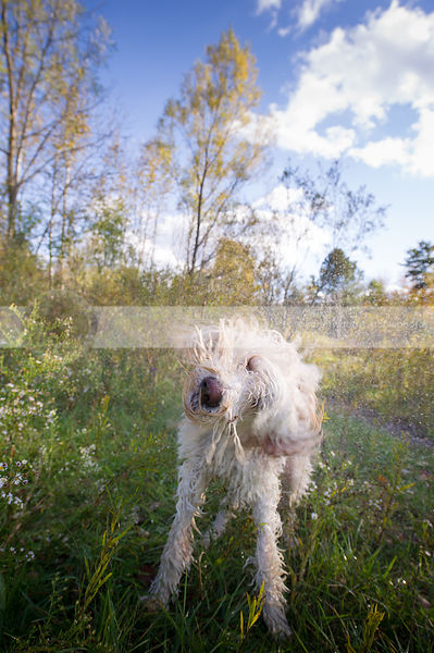 fun scruffy wet mixed breed dog shaking spraying water in meadow
