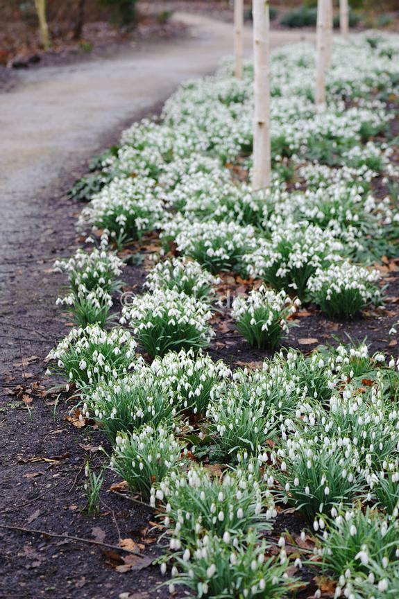 Snowdrops photographs
