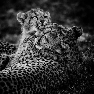 Hugs between a cheetah cub and its mother, Kenya 2015 © Laurent Baheux