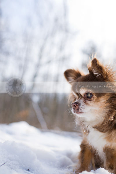 portrait of small senior dog sitting in winter snow with bokeh background
