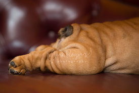 Close-up Side View of Backlegs and tail of Brown Bulldog Puppy Lying Down