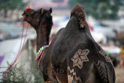 Designs shaved into the rump of a camel in Pushkar, Rajasthan, India