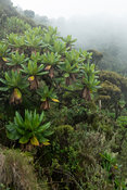 Mountain view in mist on the Mount Sabyinyo climb in the Virunga Mountains, Mgahinga Gorilla National Park, Uganda