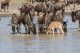 wildebeest_lake_crossing_sequence_02242015-11