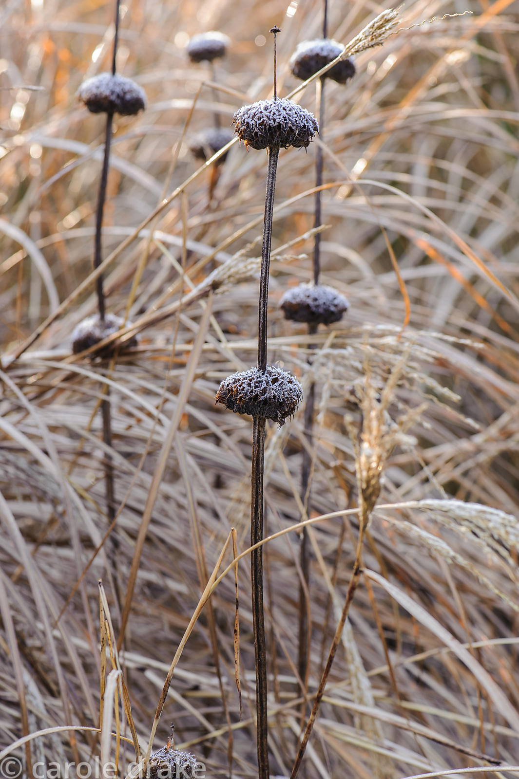 Seedheads of Phlomis russeliana. Sir Harold Hillier Gardens, Ampfield, Romsey, Hants, UK