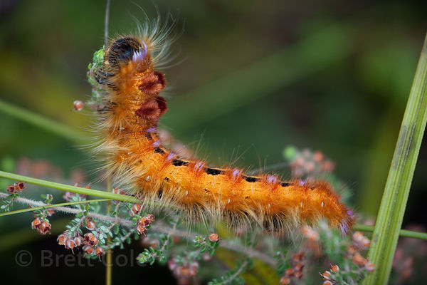 Orange caterpillar (sp.), Wildcliff Nature Reserve, South Africa