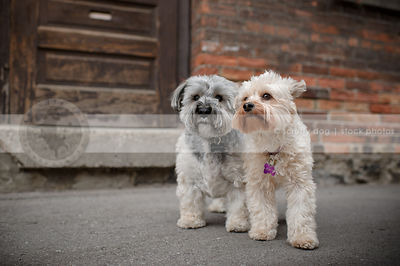 two small cute dogs standing together near urban brick wall