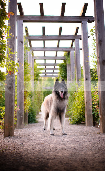 pretty belgian tervuren dog posing on path under trellis
