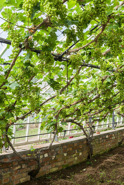 Vitis vinifera 'Muscat of Alexandria'. Clovelly Court, Bideford, Devon, UK