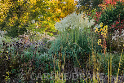 Cortaderia 'Sunningdale Silver' framed by red leaved euonymus, yellow tints of the tulip tree Liriodendron tulipifera, spikey...