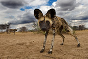 Wild dog (Lycaon pictus), Central Kalahari, Botswana