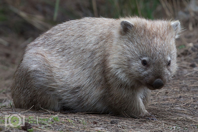 Wombats roaming on Maria Island