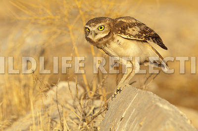 burrowing_owl_ready_for_takeoff