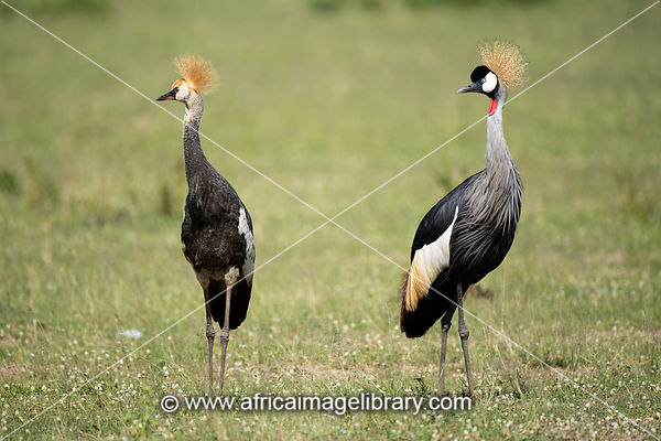 Grey Crowned Crane with chick, Balearica regulorum, Murchison Falls National Park, Uganda