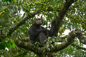 Chimpanzee, Pan troglodytes, Tongo forest, Virunga National Park, DR Congo