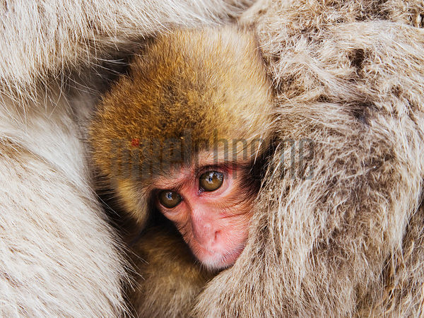 Japanese macaque (Macaca fuscata) cradling young, close-up