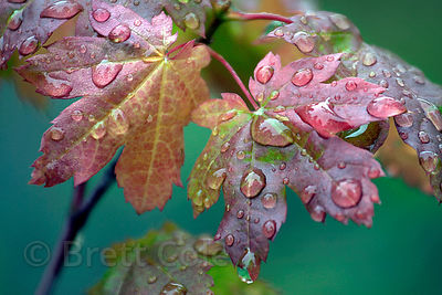 Water droplets on vine maple (Acer circinatum) leaves near Burnt Ridge, Three Sisters Wilderness, Oregon