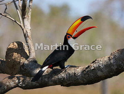 Toco Toucan (Common Toucan, Giant Toucan) (Ramphastos toco) showing its long, thin, feathery tongue as it tosses a small food...