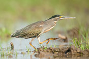 Striated heron (Butorides striata), Selous Game Reserve, Tanzania