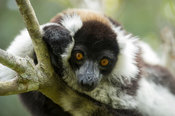 White-belted black and white ruffed lemur, Varecia variegata subcincta, Vakona Forest Reserve, Andasibe Mantadia National Par...