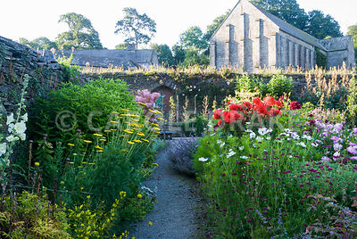 Ornamental beds in the walled kitchen garden below the 13th century Great Barn include achilleas, dahlias, Knautia macedonica...