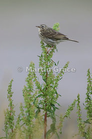 Meadow Pipit (Anthus pratensis), Foulney Island, Cumbria, England