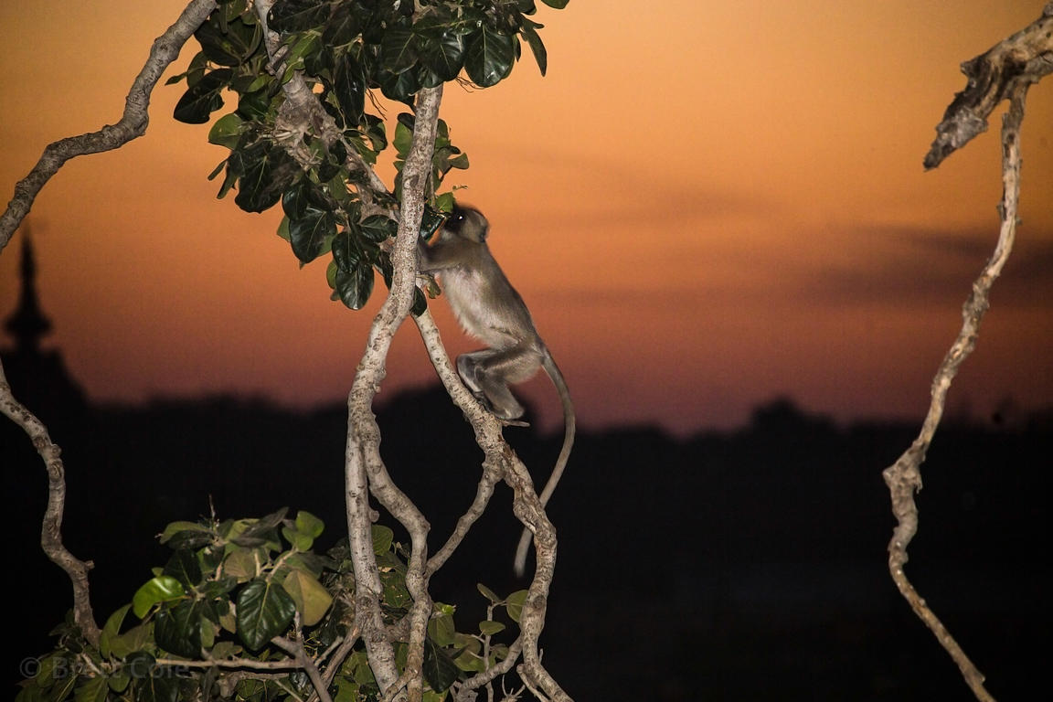 Langur monkey foraging at sunset, Badi Basti, Pushkar, Rajasthan, India