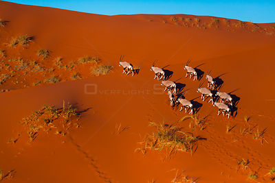 Gemsbok (Oryx gazella) aerial view of herd on sand dune, Namib Desert, Namibia.
