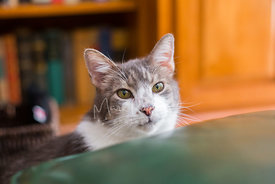 Close-up of Green-Eyed Tabby Mix Cat Looking Over Chair Cushion