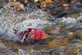 Sockeye Salmon Male Swimming Upsteam Through the Shallows