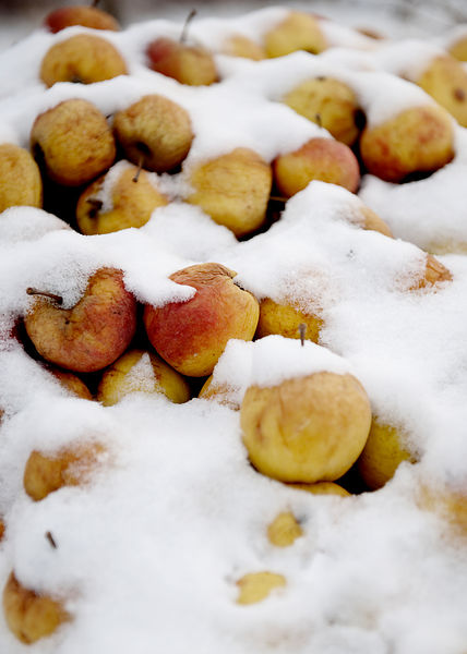 Apples in snow #2