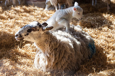 Lamb on mother's back