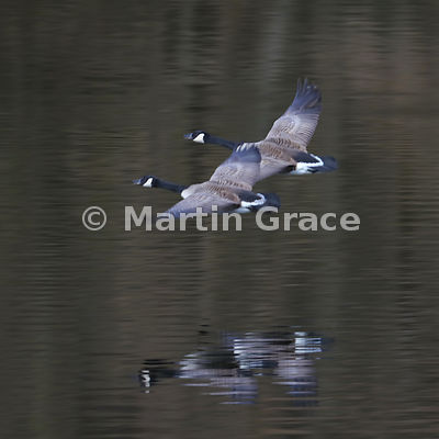 Two Canada Geese (Branta canadensis) in flight, partially blurred by movement and slow shutter speed, reflected in the surfac...