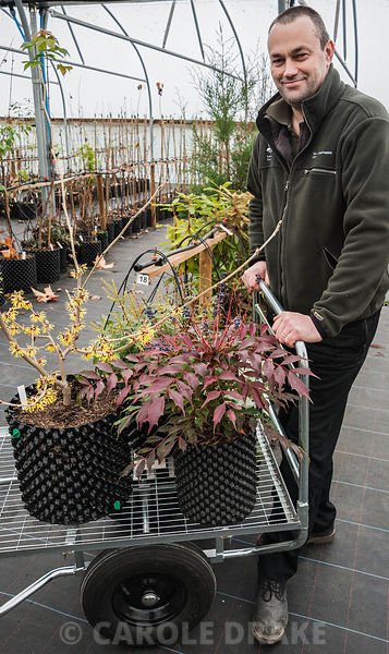 Chris Trimmer, National Trust Plant Conservation Manager, Devon, UK with trolley of shrubs including Hamamelis mollis 'Wisley Supreme', Mahonia x emeiensis 'Emei Shan' and Pieris floribunda...