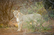 Lioness, Panthera leo, Kruger National Park, South Africa