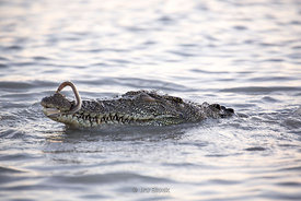 A saltwater crocodile in the Hunter River in Australia's Kimberley region.