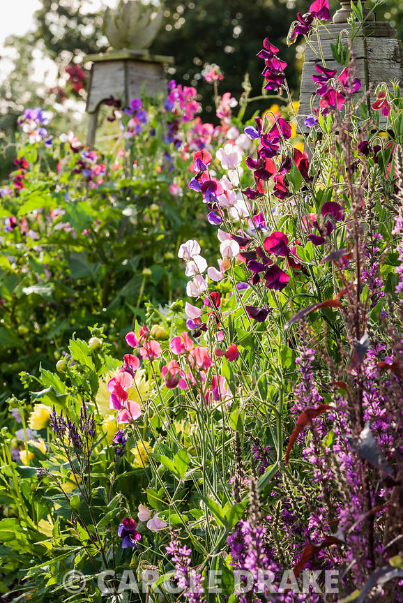 Purple loosestrife, Lychnis salicaria, with sweet peas climbing up wooden obelisks. Hilltop, Stour Provost, Dorset, UK