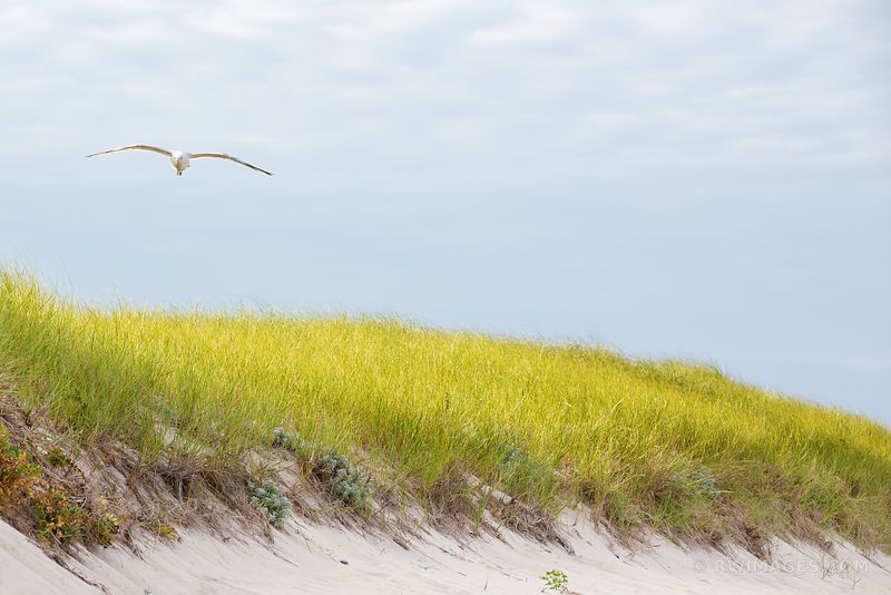 SEAGULL BEACH DUNE GRASSES NANTUCKET ISLAND COLOR
