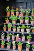 Primula auriculas displayed in a traditional theatre, used to protect the flowers from rain. Summerdale House, Lupton, Cumbri...