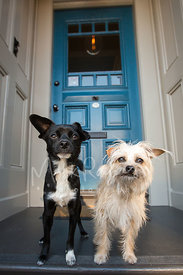 Two Small Terrier Mix Dogs Standing on Front Porch in Front of Blue Door