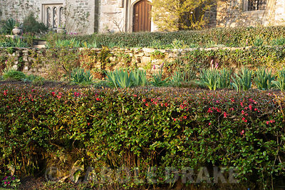 Clipped hedge of ornamental quince, Chaenomeles, on the east terrace. Cotehele, Cornwall, UK