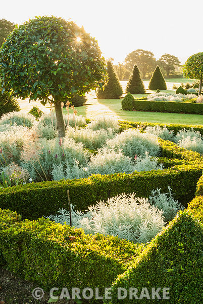 Parterre of box hedges containing standard bays, planted with santolina and Allium 'Purple Sensation' with yew pyramids and l...