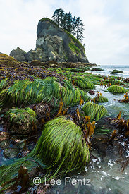 Split Kelp with Scouler's Surf Grass at Extreme Low Tide at Point of Arches
